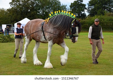 UPPER DEAN, BEDFORDSHIRE, ENGLAND - SEPTEMBER 07, 2019:  Bay and Roan Shire Horse  Stallion on shown ground