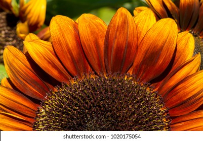 The upper half of a Helianthus (Sunflower) Flower with petals the colour of fire, ranging from red through to yellow at the tips