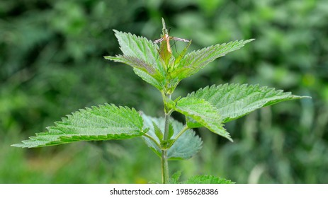 The upper leaves of a herbaceous plant called nettle, popular all over Podlasie in Poland. The photos were taken in the village of Turośl in May 2021. - Shutterstock ID 1985628386