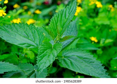 The upper leaves of a herbaceous plant called nettle, popular all over Podlasie in Poland. The photos were taken in the village of Turośl in May 2021. - Shutterstock ID 1985628389