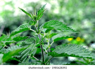 The upper leaves of a herbaceous plant called nettle, popular all over Podlasie in Poland. The photos were taken in the village of Turośl in May 2021. - Shutterstock ID 1985628392