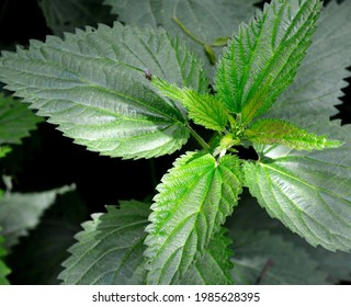 The upper leaves of a herbaceous plant called nettle, popular all over Podlasie in Poland. The photos were taken in the village of Turośl in May 2021. - Shutterstock ID 1985628395