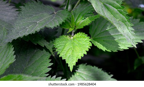 The upper leaves of a herbaceous plant called nettle, popular all over Podlasie in Poland. The photos were taken in the village of Turośl in May 2021. - Shutterstock ID 1985628404