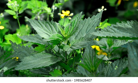 The upper leaves of a herbaceous plant called nettle, popular all over Podlasie in Poland. The photos were taken in the village of Turośl in May 2021. - Shutterstock ID 1985628407