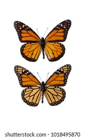 Upper and underside of the magnificent monarch butterfly (Danaus plexippus) isolated on white background