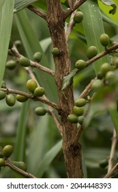 upright photo of a coffee tree or olives plant