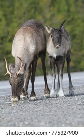 Upright picture of drinking caribou mom and her little one in the Northern Territories, Canada