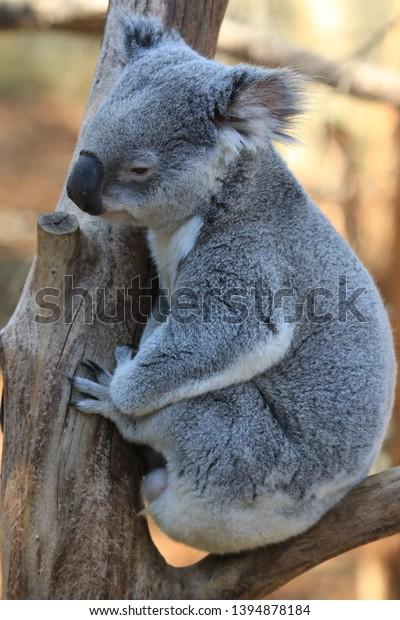 upright picture of lazy wild koala in tree on south coast of australia