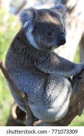 upright picture of wild koala in tree