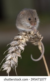 Upright vertical format of a harvest mouse on an ear of grain with dark background
