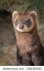 Upright vertical photograph and close ups portrait of a polecat. It is a half length image and the polecat is standing looking forward