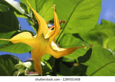 The uprisen angle view of a yellow Datura
