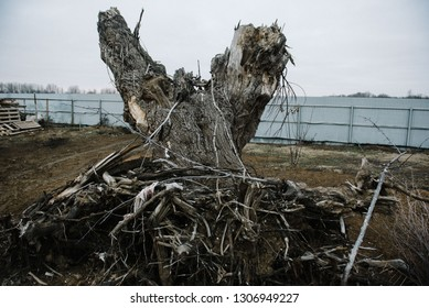 Uprooted big tree with roots