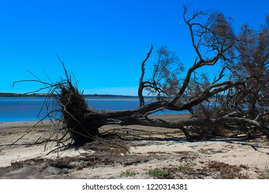 Uprooted casuarina tree at the marshy  end of the  Leschenault Estuary conservation park near Australind Western Australia on a calm day in early  spring  as the tide is receding.