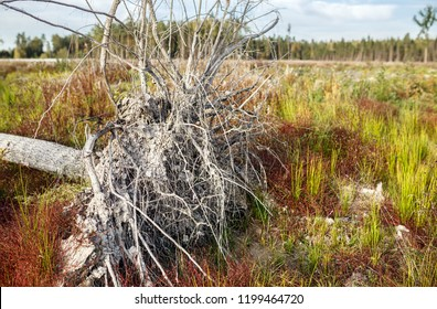 Uprooted dry tree in the autumn meadow. Russia.