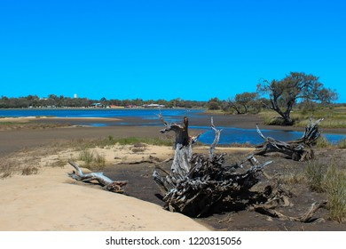 Uprooted melaleuca tree at the marshy  end of the Leschenault Estuary conservation park near Australind Western Australia on a calm day in early spring as the tide is receding.