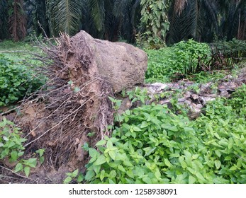uprooted palm tree