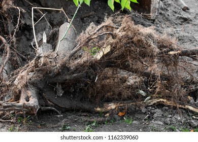 Uprooted roots of a tree