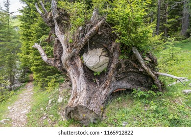 Uprooted tree with an enclosed large stone, Austria
