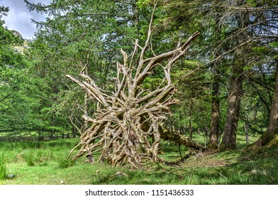 Uprooted tree in the English Lake District exposting an intricate network of roots