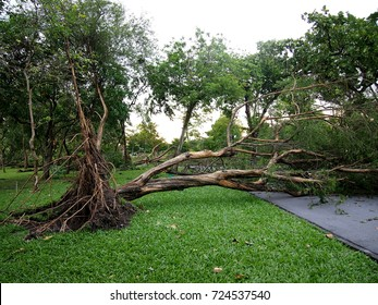uprooted tree in the park after windstorm blocking road way