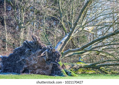Uprooted tree in a Park in Germany after storm
