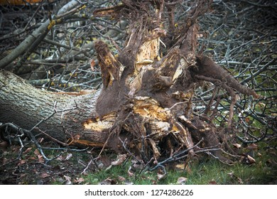 Uprooted tree. The roots have been removed from the ground, on the background there are a lot of branches (the plaint is a Juglans regia - common walnut)