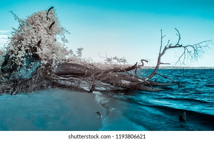 An uprooted tree sits in the James River near Williamsburg Virginia photographed in infrared producing unusual colors