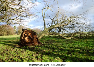 Uprooted Tree Storm Damage