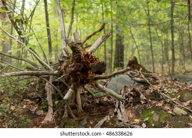 Uprooted tree stump