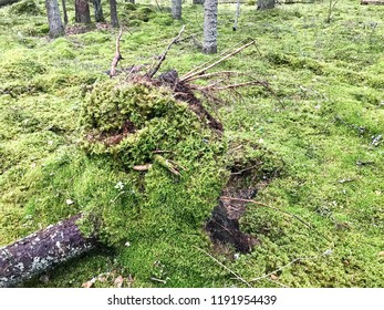 The uprooted tree, torn from the ground by the roots of a tree overgrown with green moss and grass in the forest after a hurricane.