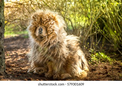 Upset, sad, dirty, old and shaggy chow chow dog sitting on pine cones in shadow under pine tree, hiding from summer sun and heat. Long-haired, fluffy, lovely puppy is friendly. Walking dog in forest.