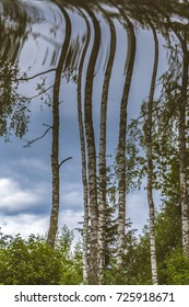 Upside down birch trees in summer