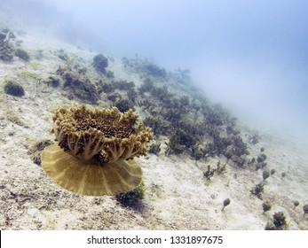 Upside Down Jellyfish (Mangrove Jellyfish) - Caribbean Ocean, Belize