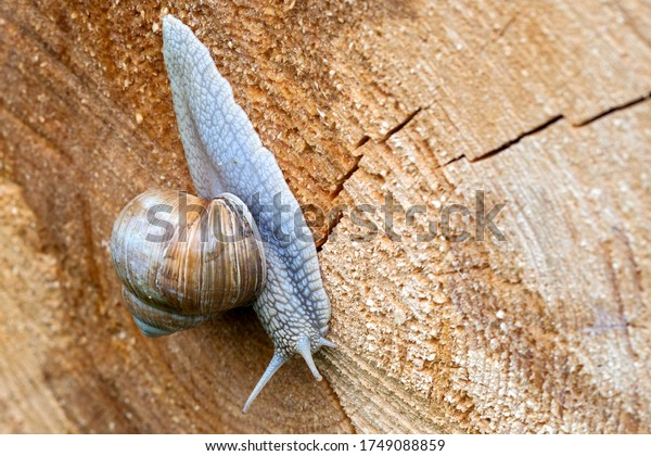 Upside down over the tree trunk. A vineyard snail creeps leisurely over the cut surface of a sawn-off tree trunk. The snail is Germany's largest land-housing snail.