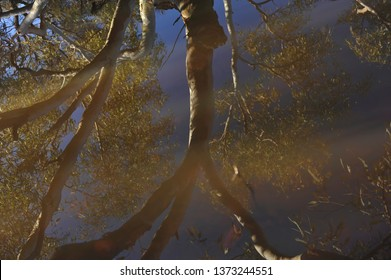 Upside Down Reflections of the sky and a large ghost gum. Superb blue sky reflections on still water after summer rain. Australian Billabong in the desert after rain.