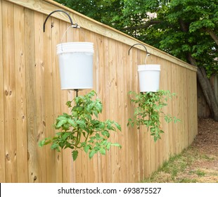 Upside Down Tomato Plants hanging from Homemade Bucket Pots on a Fence in a Back Yard for greater fruit harvest.  A trendy and unique way of growing tomatoes in limited or small spaces or landscapes