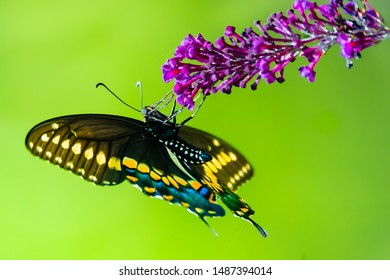 An upside down view of a colorful  male swallowtail butterfly  feeding on purple blossom of butterfly bush, with green lawn in the background.