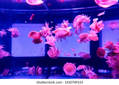 Upside Down in wate Jellyfish Casiopea andromeda