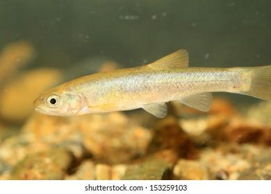 Upstream fat minnow or Chinese minnow (Rhynchocypris oxycephalus jouyi) in japan