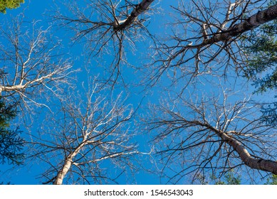 Upward perspective view of tall aspen trees on a blue sky background, texture