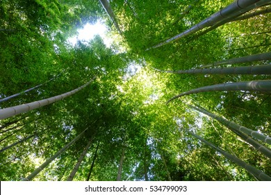 Upward view of bamboo forest, Tokyo, Japan