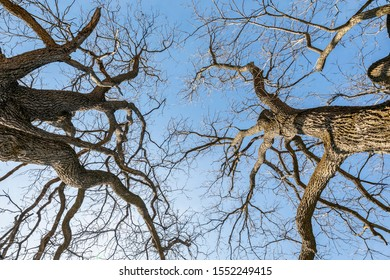 Upward View of Bare Trees against a Blue Sky