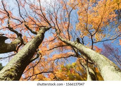 upward view of beautiful maple trees in autumn, lushan botanical garden