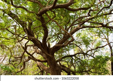 An upward view of branches of an old tree in Redi Fort, North Goa, India