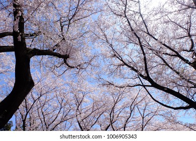 Upward view of cherry trees in full bloom