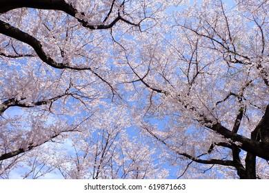 Upward view of cherry trees in full bloom, Tokyo, Japan