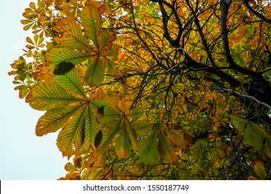 Upward view of a chestnut tree with the leaves changing form green, orange and yellow. The branches are intertwined. The background is white.