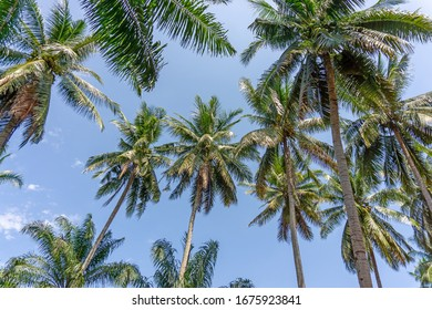 Upward view to coconut green leaves, gray stem and high trunk with fruits under white clouds and blue sky