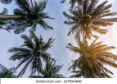Upward view to coconut green leaves, gray stem and high trunk with fruits under white clouds blue sky and soft orange light